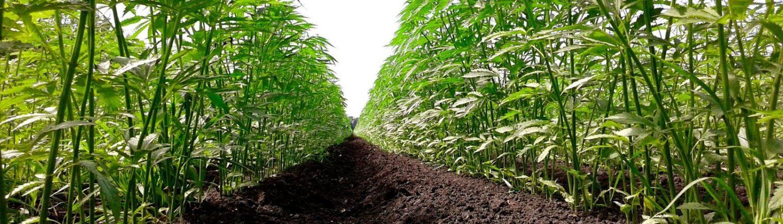 a field of marijuana